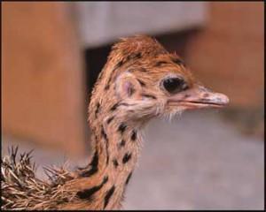 Ostrich7
